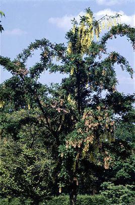 +Laburnocytisus adamii Laburnocytisus 39Adamii39 Adam39s laburnumRHS Gardening