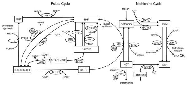 10-Formyltetrahydrofolate The Folate and methionine cycles Abreviations 10fTHF Figure