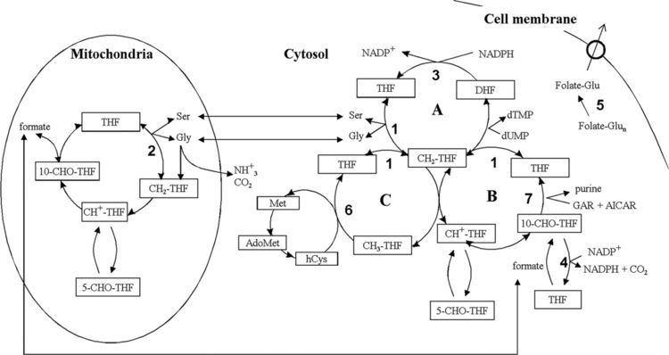 10-Formyltetrahydrofolate EthanolInduced Upregulation of 10Formyltetrahydrofolate