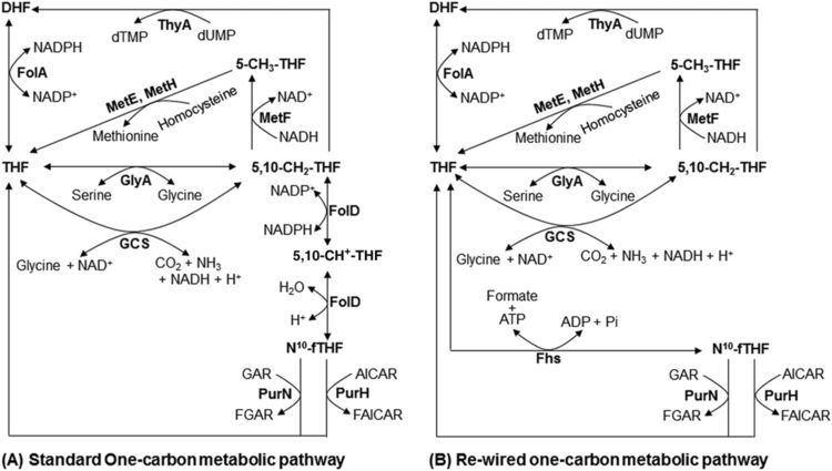 10-Formyltetrahydrofolate OneCarbon Metabolic Pathway Rewiring in Escherichia coli Reveals an