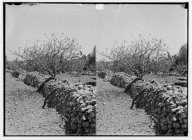 1915 Palestine locust infestation Locust 8 Photo Gallery 4