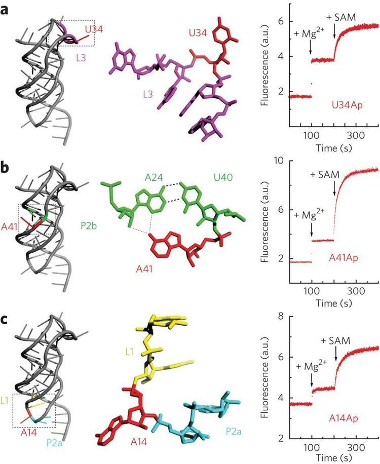 2-Aminopurine SAMII variants containing single 2aminopurine labels structural