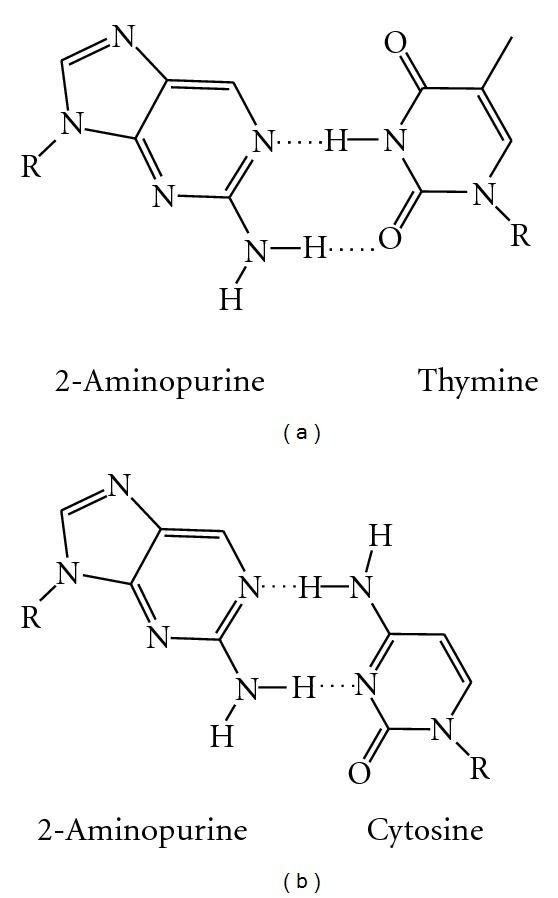 2-Aminopurine 2Aminopurine 2AP and its base pairs a 2AP base paired with