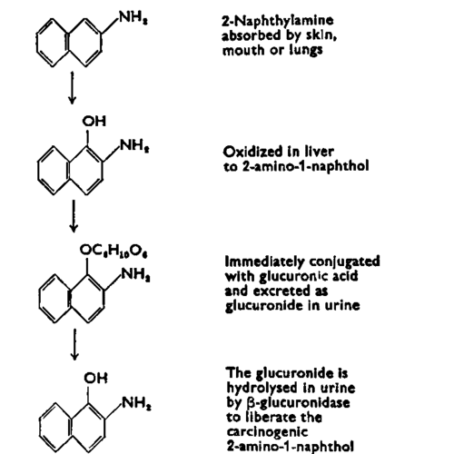 2-Naphthylamine 5 Antagonism To BetaGlucuronidase