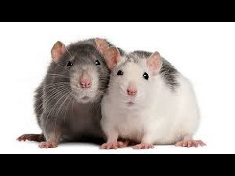 2 Rats 2 Rats in a Cage LIVE RAT CAM YouTube