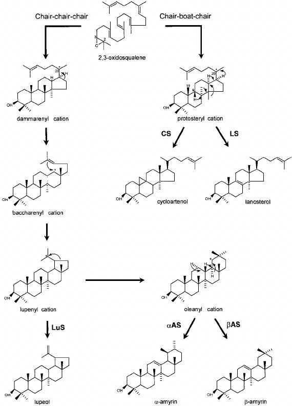 2,3-Oxidosqualene Cyclization of 23oxidosqualene to triterpenoids lupeol