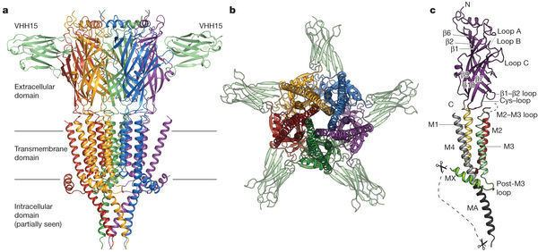 5-HT3 receptor Xray structure of the mouse serotonin 5HT3 receptor Nature