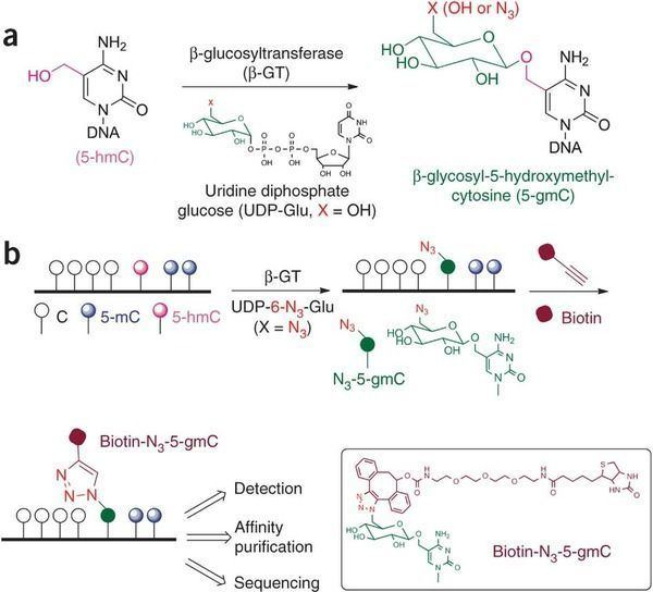 5-Hydroxymethylcytosine Selective chemical labeling reveals the genomewide distribution of