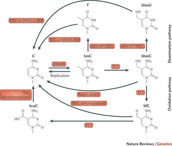 5-Hydroxymethylcytosine Figure 1 Uncovering the role of 5hydroxymethylcytosine in the