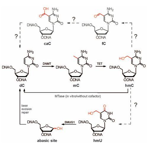 5-Hydroxymethylcytosine CIPSM Tissue Distribution of 5Hydroxymethylcytosine and Search