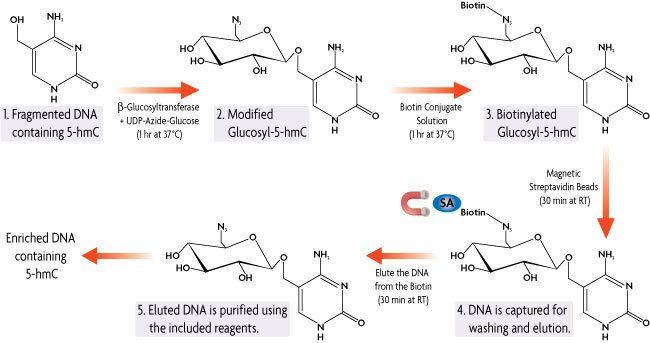 5-Hydroxymethylcytosine Active Motif Hydroxymethyl Collector 5hmc 5