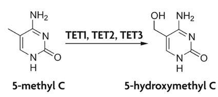 5-Hydroxymethylcytosine Active Motif 5Hydroxymethylcytosine DNA methylation