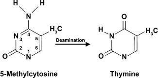 5-Methylcytosine 6 Spontaneous deamination of 5methylcytosine is responsible