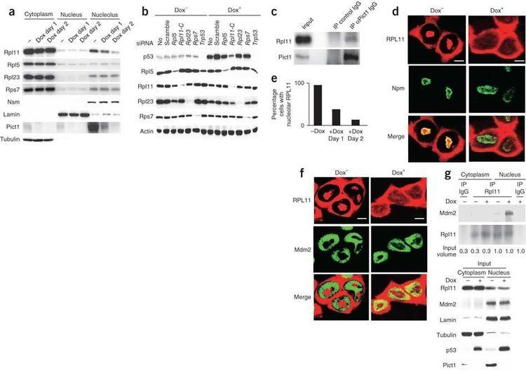 60S ribosomal protein L11 wwwnaturecomnmjournalv17n8imagesnm2392F4jpg
