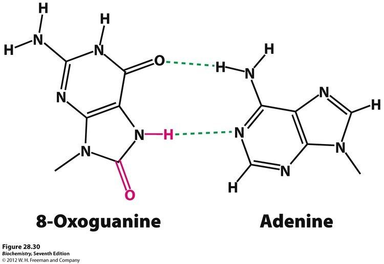 8-Oxoguanine Kevin Ahern39s Biochemistry BB 451551 at Oregon State University