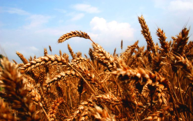 Wheat (film) movie scenes