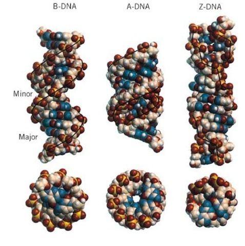 A-DNA whatwhenhowcomwpcontentuploads201105tmp1E