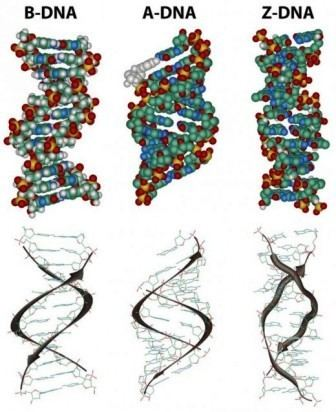A-DNA Different forms of DNA Biology Exams 4 U