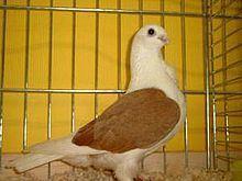 Aachen Lacquer Shield Owl pigeon httpsuploadwikimediaorgwikipediacommonsthu
