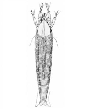 Abacarus