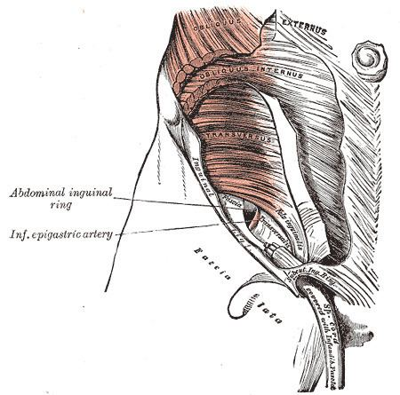 Abdominal fascia