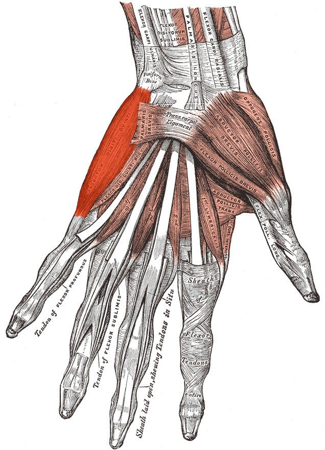 Abductor digiti minimi muscle of hand