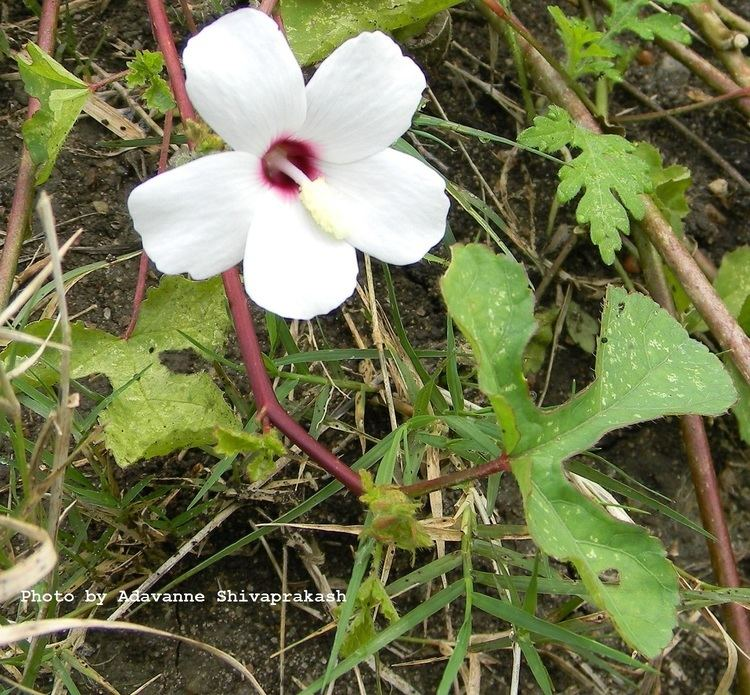 Abelmoschus ficulneus Host and Nectar Plants Host Plants White Wild Musk Mallow or