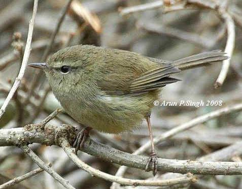 Aberrant bush warbler worldbirdseualbum1AberrantBushWarblerjpg