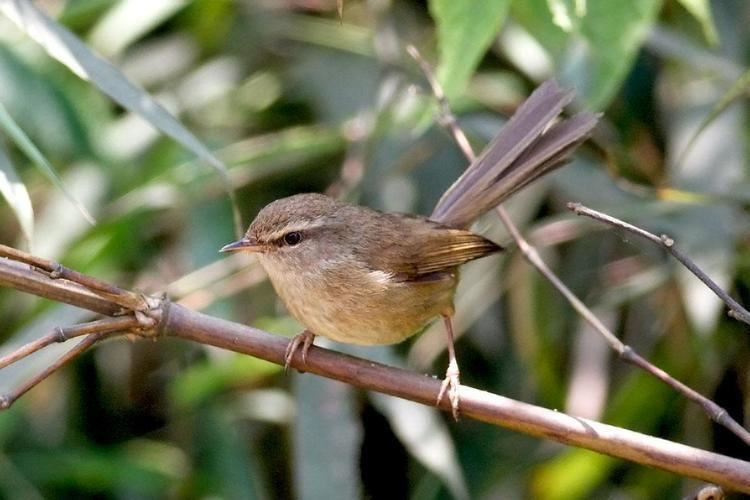Aberrant bush warbler Aberrant Bushwarbler Cettia flavolivacea low in the bush the