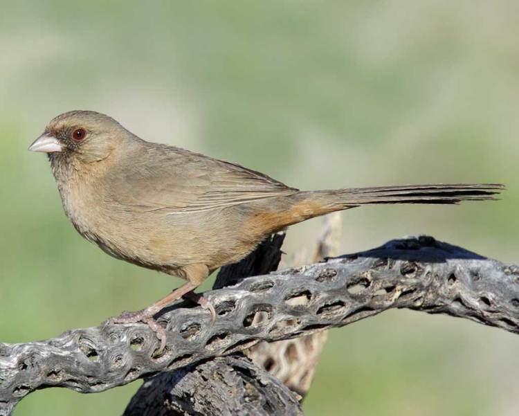 Abert's towhee Abert39s Towhee Audubon Field Guide