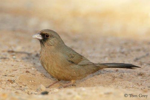 Abert's towhee wwwoiseauxbirdscompasseriformesemberizidesto