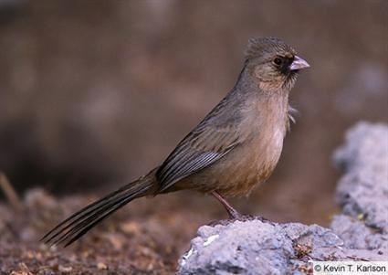Abert's towhee Abert39s Towhee Identification All About Birds Cornell Lab of