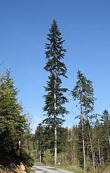 Abies alba httpsuploadwikimediaorgwikipediacommonsthu