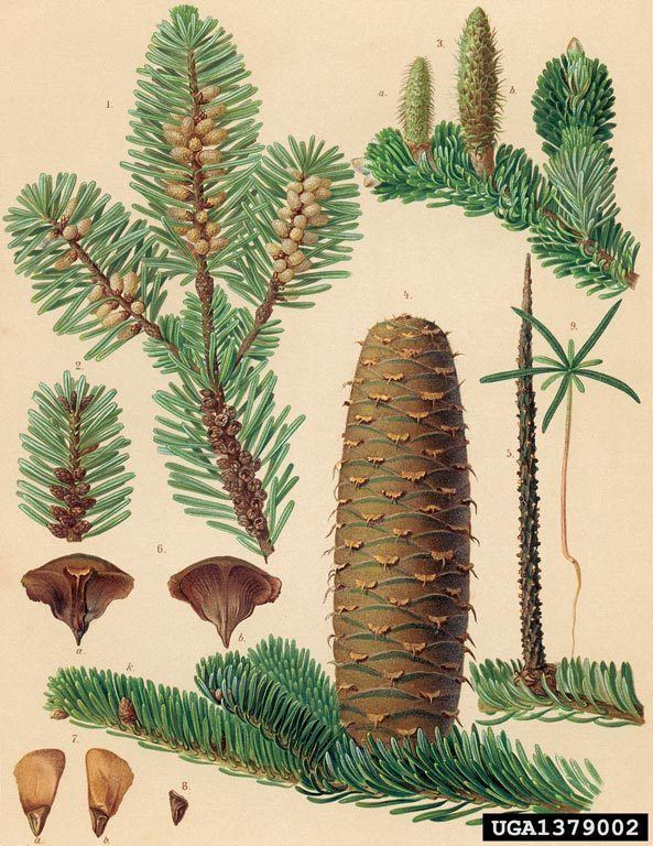 Abies alba Abies alba Health effects and herbal facts