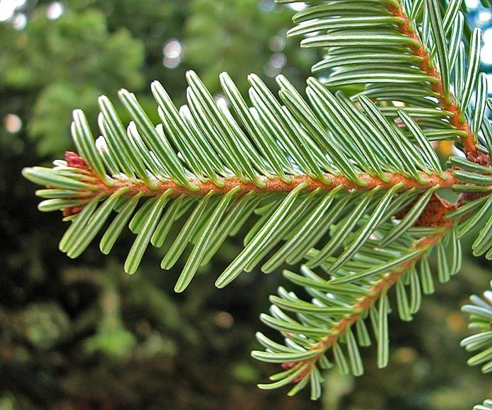 Abies alba Abies alba European silver fir description