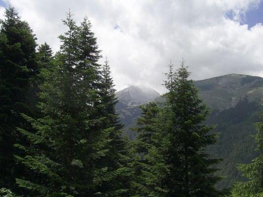 Abies borisii-regis Abies borisiiregis Conifer Record