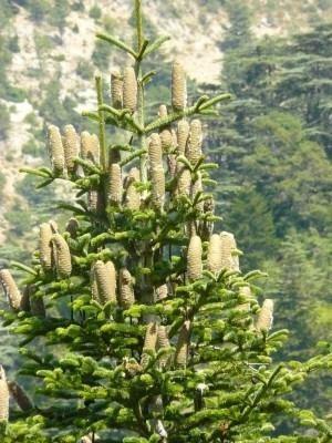 Abies cilicica Abies cilicica Conifer Record