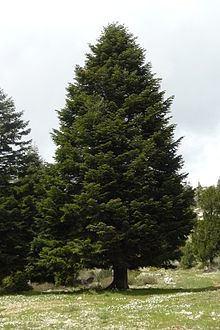 Abies cilicica httpsuploadwikimediaorgwikipediacommonsthu