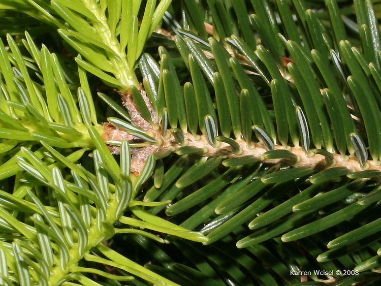 Abies cilicica Abies cilicica Cilician fir