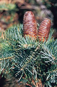Abies concolor httpsuploadwikimediaorgwikipediacommonsthu
