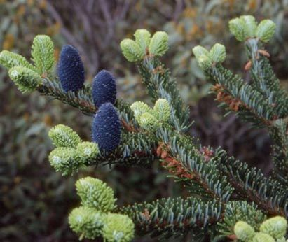 Abies Delavayi Alchetron The Free Social Encyclopedia