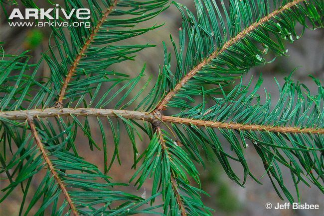 Abies guatemalensis Guatemalan fir photo Abies guatemalensis G70905 ARKive