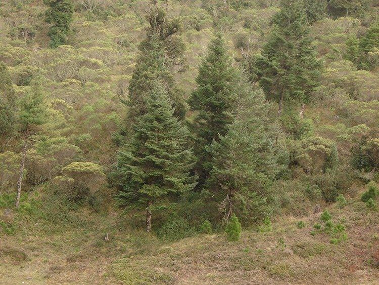 Abies guatemalensis PlantFiles Pictures Guatemalan Fir Abies guatemalensis by sladeofsky