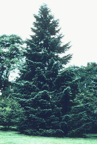 Abies holophylla Abies holophylla Needle Fir Manchurian Fir Plant Database