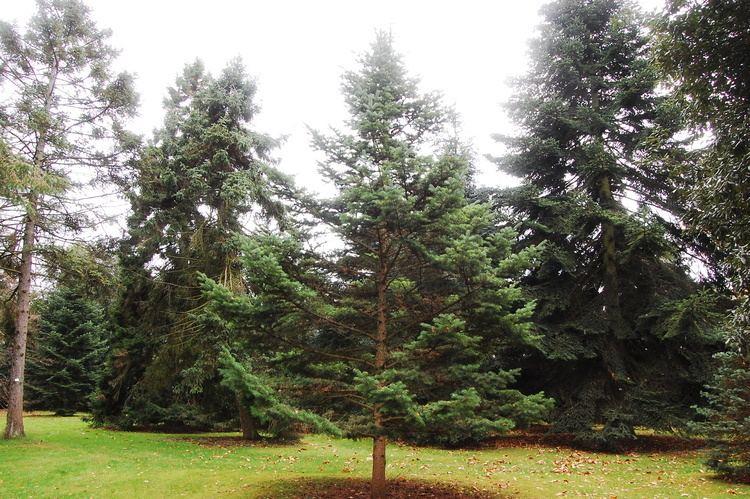 Abies holophylla Abies holophylla landscape architect39s pages