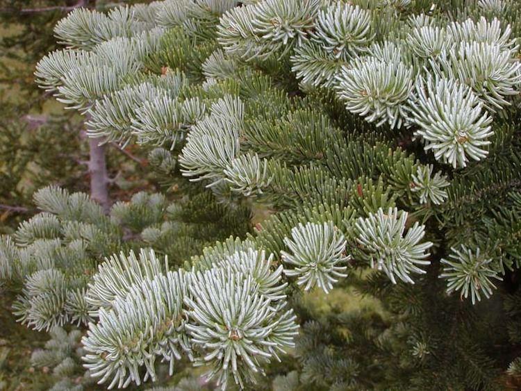 Abies lasiocarpa Abies lasiocarpa subalpine fir description