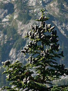 Abies lasiocarpa httpsuploadwikimediaorgwikipediacommonsthu