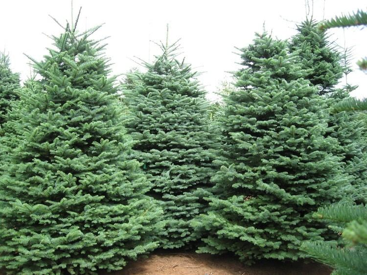 Abies procera Trees Planet Abies procera Noble Fir Red Fir