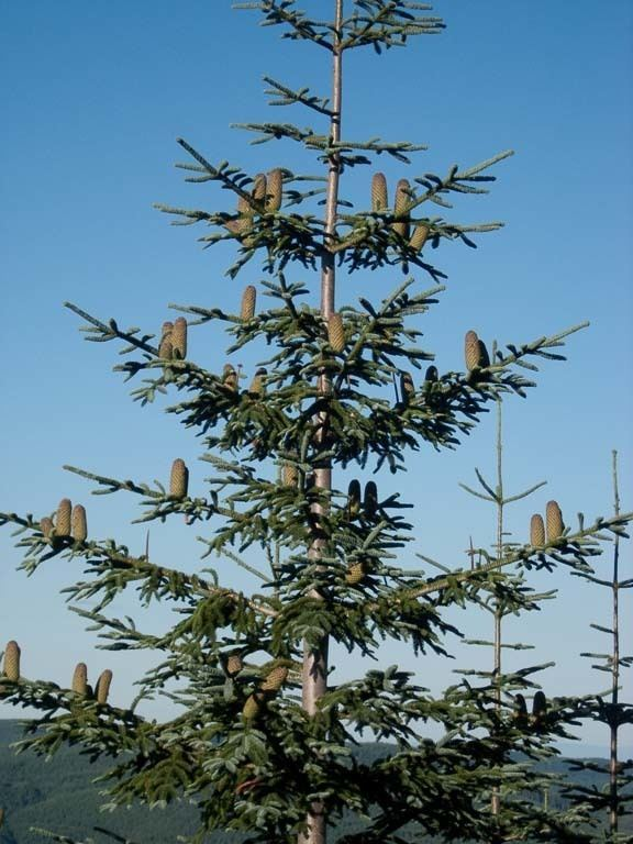 Abies procera Abies procera noble fir description