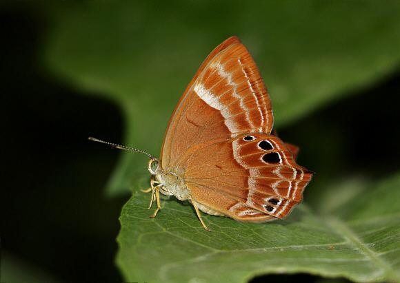 Abisara Butterflies of India Abisara bifasciata